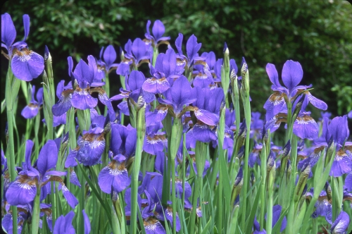 purple-irises