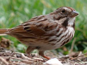 Song_Sparrow-27527-2