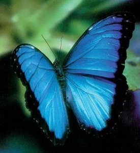 blue-morpho-butterfly-habitat-1